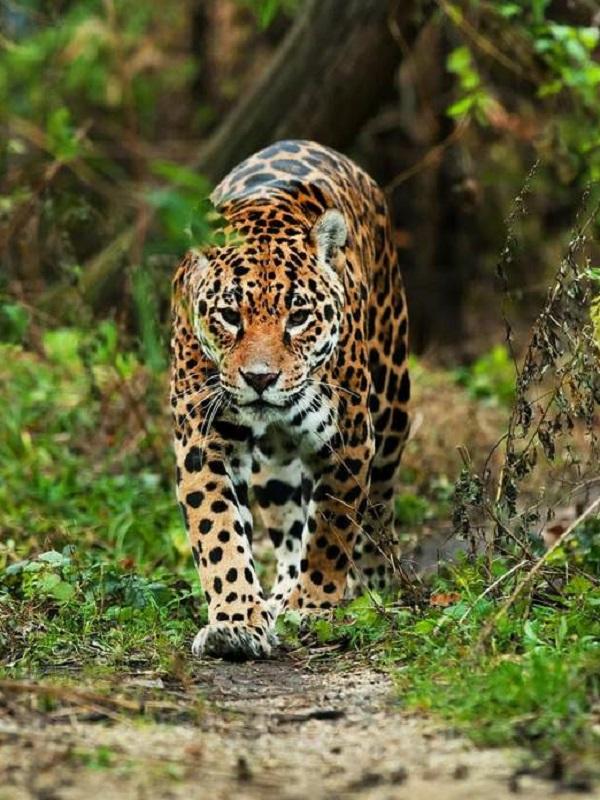 La 'casposa' caza amenaza a las especies de mamíferos de las selvas tropicales