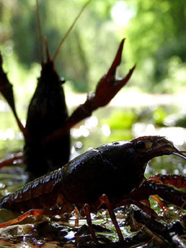 El cangrejo rojo invade por tierra, mar, y aire el Planeta tierra