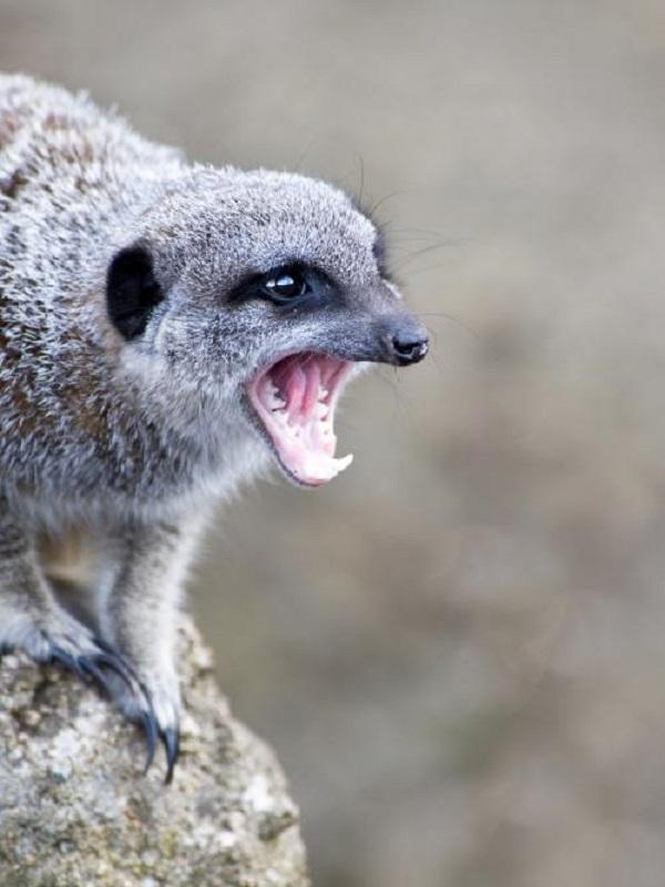 Capturan y recuperan a una suricata agresiva que pretendía adentrarse en una vivienda de Málaga