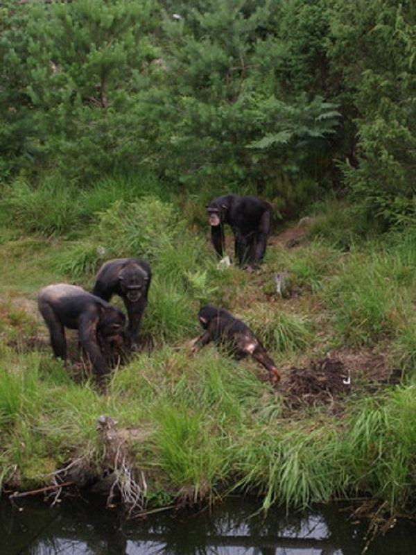 Chimpancés cautivos utilizan herramientas para desenterrar alimentos