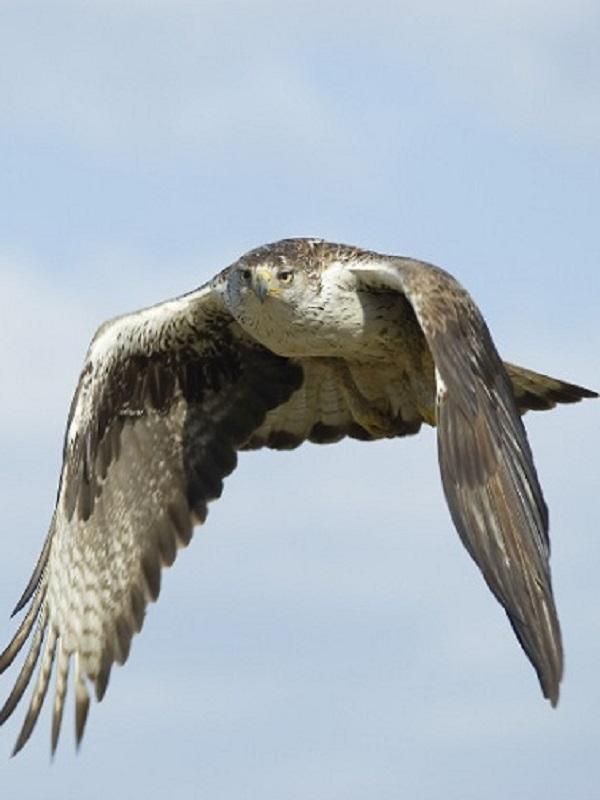 Navarra celebra el Día Europeo de la Red Natura 2000 con el pico dorsiblanco y el águila de bonelli como protagonistas