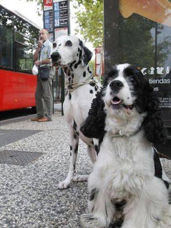 En Málaga plantean que los perros de hasta diez kilos viajen en autobuses públicos en determinadas horas y líneas