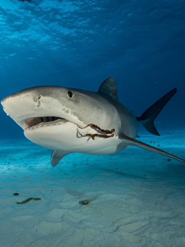 Los tiburones tigre también comen pájaros cantores