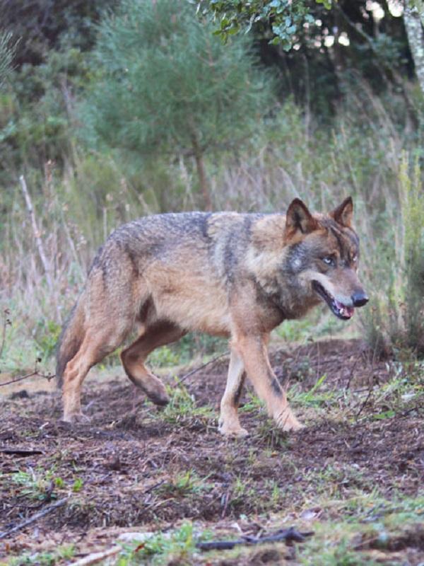 Recurren ante el Supremo la sentencia sobre el control poblacional de lobos