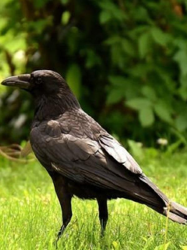 Evidencias de contagio emocional negativo en cuervos