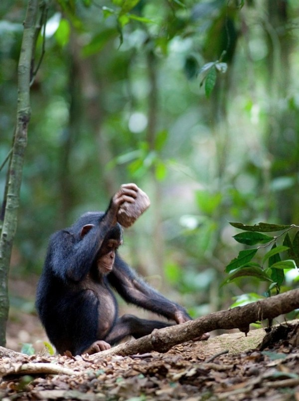 Gorilas, nueces, y el dentista a la vuelta de la esquina