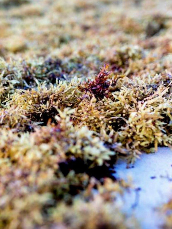 Las macroalgas son las grandes aliadas para retener el CO2