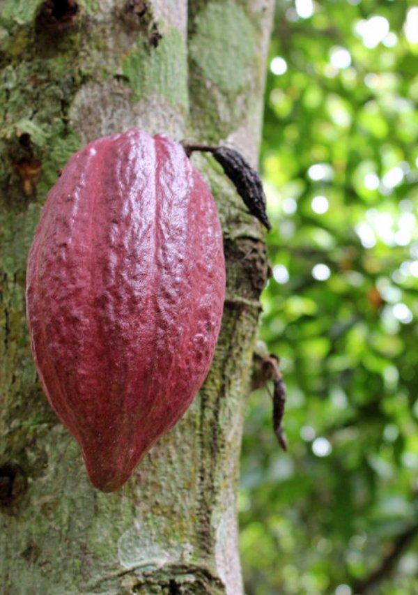 El chocolate destroza el hábitat de los gorilas