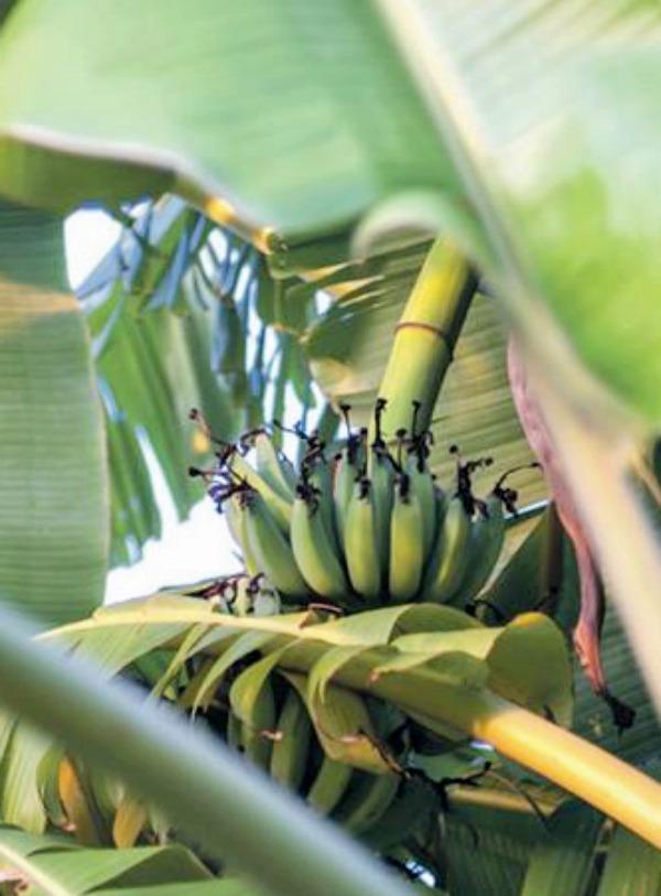Reunión en Ecuador para abordar un plan contra la plaga que afecta al plátano