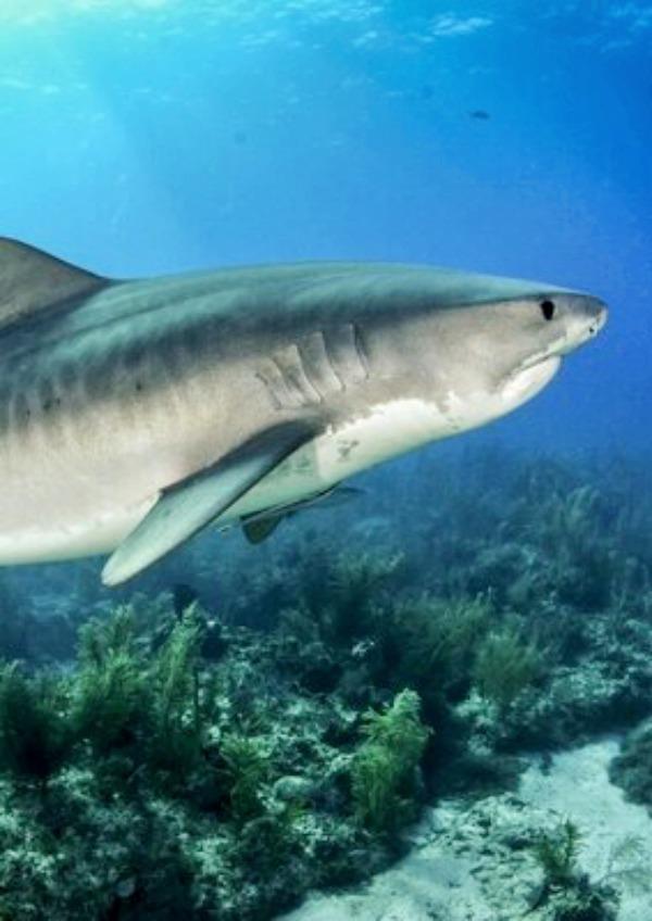 Los tiburones son más pequeños en zonas cercanas a grandes ciudades