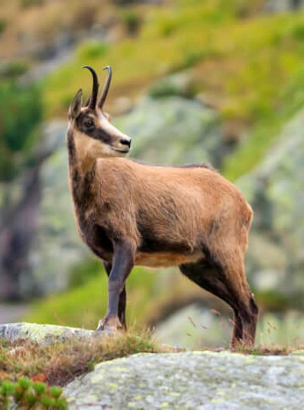 Los rebecos del Pirineo pueden estar tranquilos: son inmunes al virus que termina con muchas especies