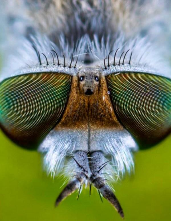 Hallan unos fósiles de ojos de mosca, claves para entender la visión compuesta