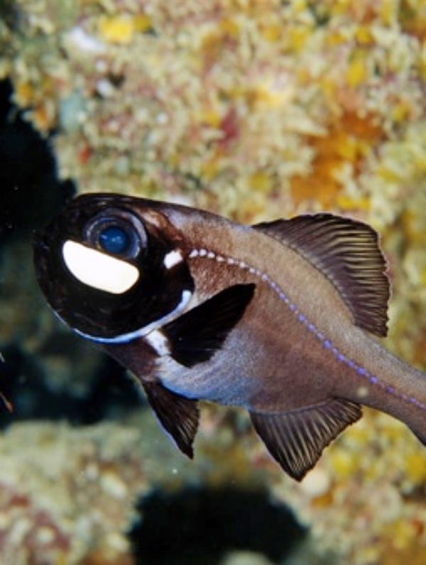 El pez ojo de linterna usa su luz para organizarse con los suyos