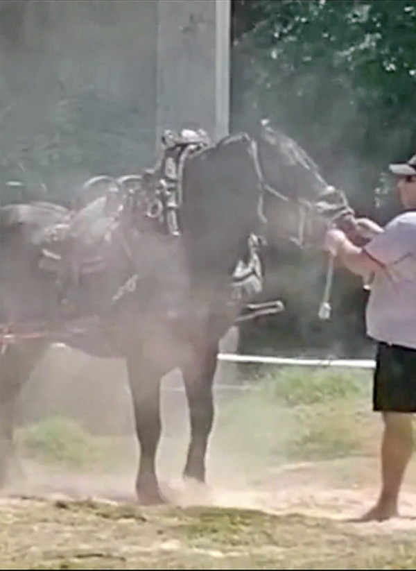 Valencia. Un caballo se derrumba abatido, tras una prueba de tiro y arrastre