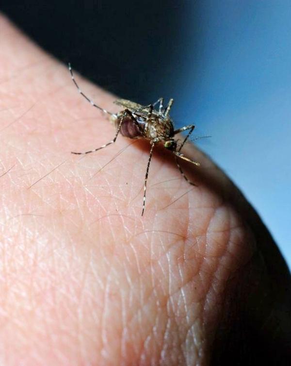 El aterrador mosquito tigre está desarrollando una técnica para sobrevivir al invierno