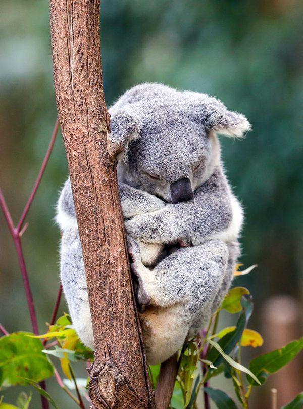 La Ciencia aporta soluciones para la preservación de la población de koalas
