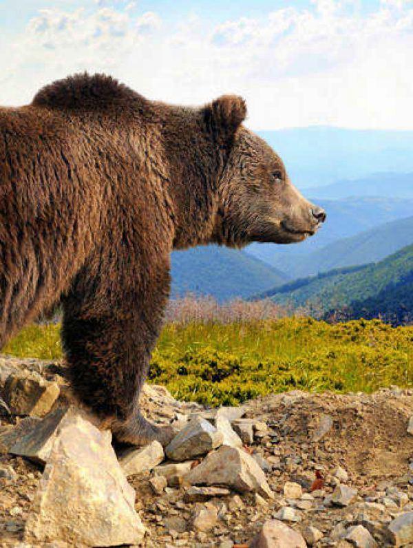 El oso no es el enemigo de la ganadería
