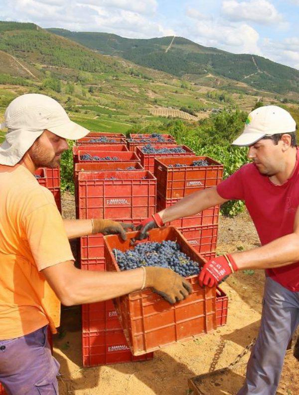 Las uvas tampoco 'se libran' del cambio climático