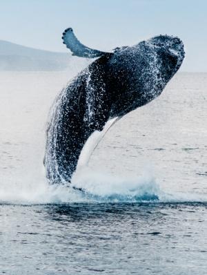 Japón reanuda la brutal caza de ballenas