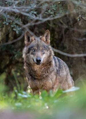 Asturias. Solidaridad con Xurde en Defensa del Lobo