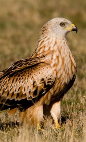 La labor de los ganaderos es fundamental en la conservación de aves necrófagas