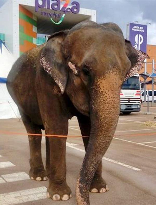Dumba 'víctima' de pseudo-zoos y circos esclavistas