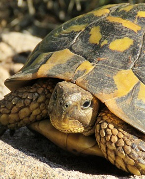 ¿Qué tiene que ver el número de dedos y el sexo de las tortugas mediterráneas?