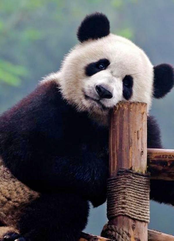 ¿Sabes dónde vivió el último oso panda de Europa?, te sorprenderás