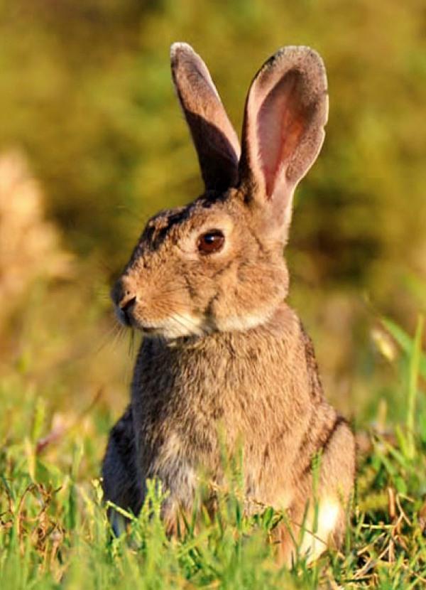 Por primera vez en la historia el 'conejo' es catalogado por la UICN como una especie en peligro
