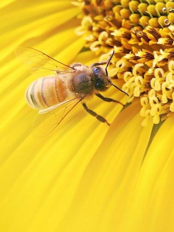 Europa puede y debe salvar a las abejas