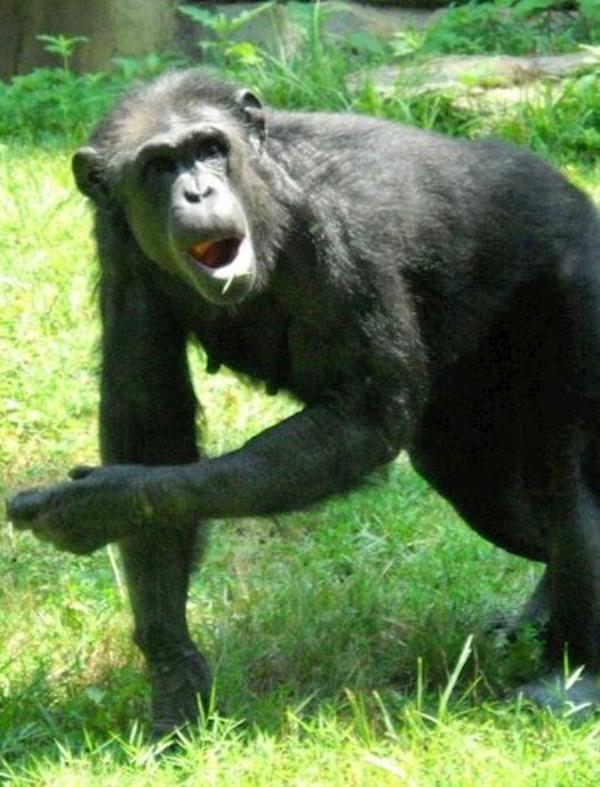 Bailando con Chimpancés