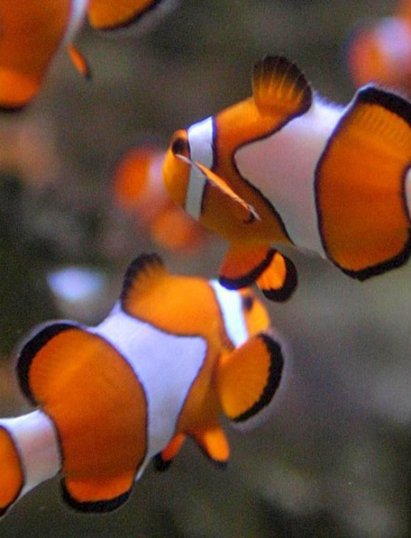 Escucha este 'villancico' cantado por peces