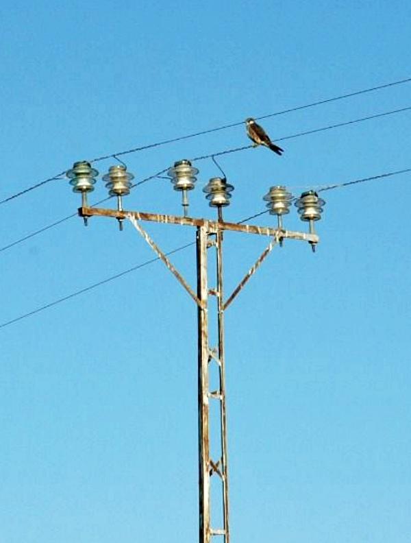 Se reduce significativamente el número de aves atendidas por electrocución en Mallorca