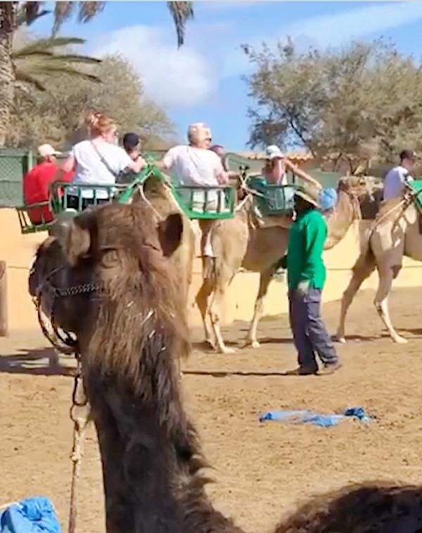 Vídeo del maltrato a los camellos en los paseos turísticos de Canarias
