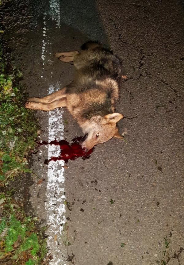 El Principado de Asturias vuelve a permitir que se maten todos los lobos que se vean