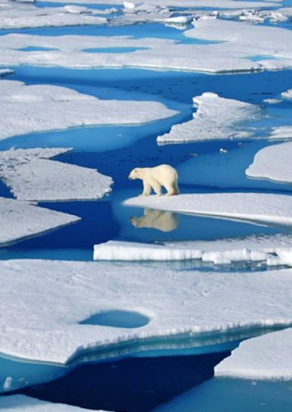Las otras consecuencias del cambio climático, el derretimiento del hielo ártico 'activa' un virus mortal para los mamíferos marinos