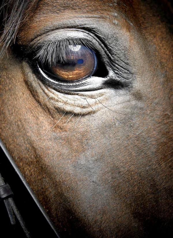 Si un caballo ha sufrido episodios de estrés lo verás en sus ojos