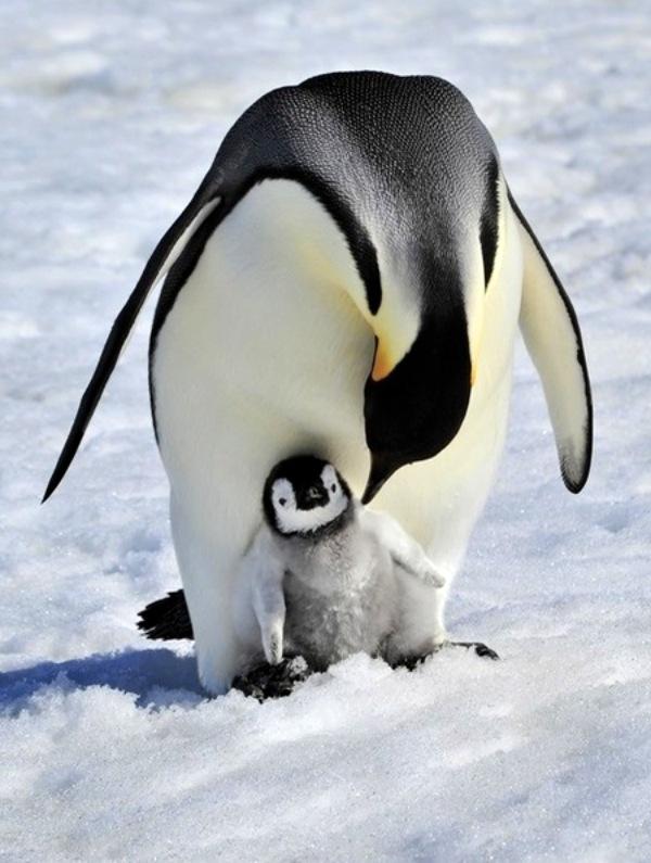 El pingüino emperador 'al borde del colapso'