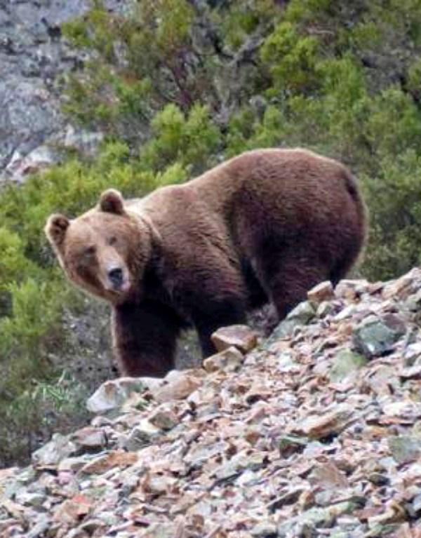 Cantabria concederá subvenciones por 200.000 euros para prevención de daños de lobos y osos