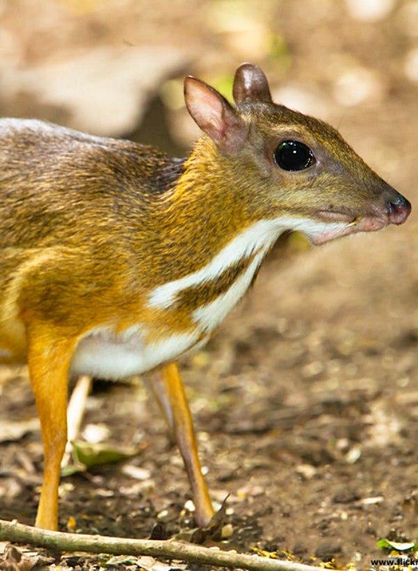 El ciervo ratón de Vietnam ahora resulta que no se había extinguido