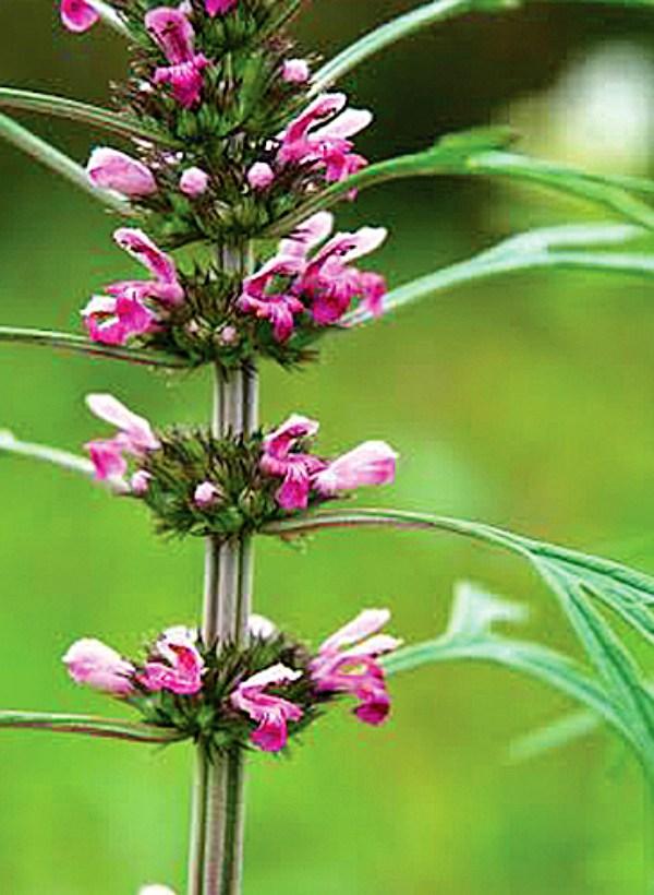 Amazonas. Una 'farmacia natural' de plantas medicinales para los indígenas