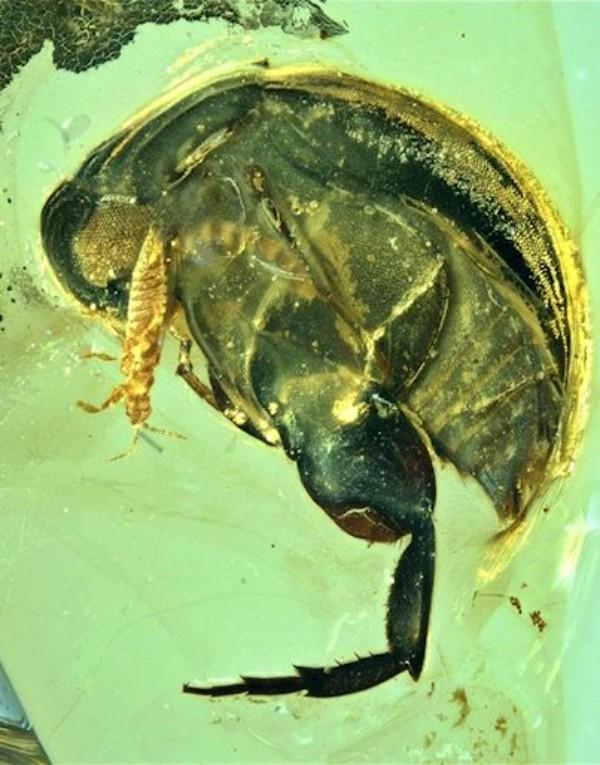 Un fósil atrasa la polinización de insectos a hace 99 millones de años