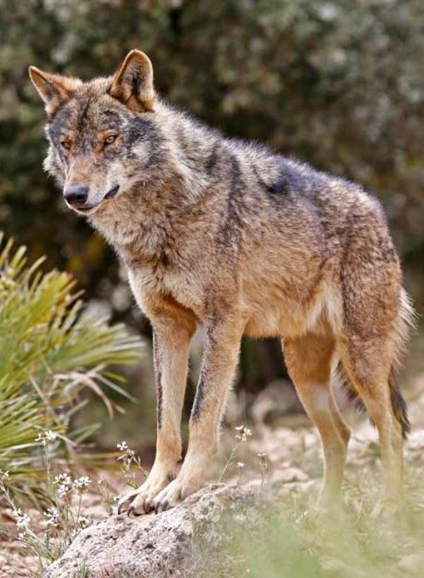 Inutilidad y falta de rigor científicodelprograma que contempla asesinar a 46 lobos en Asturias