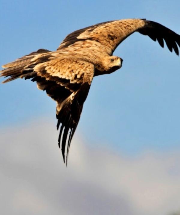 Un Águila Imperial 'envenenada' en la finca Zanona