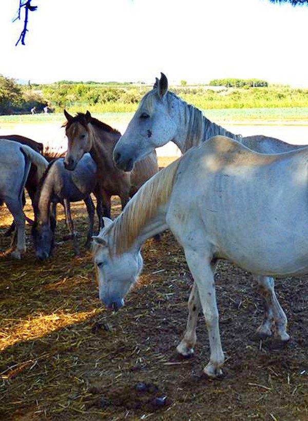 La mala gestión de la Generalitat de Catalunya impide el decomiso de una yeguada en St. Oliva y los animales terminan siendo vendidos