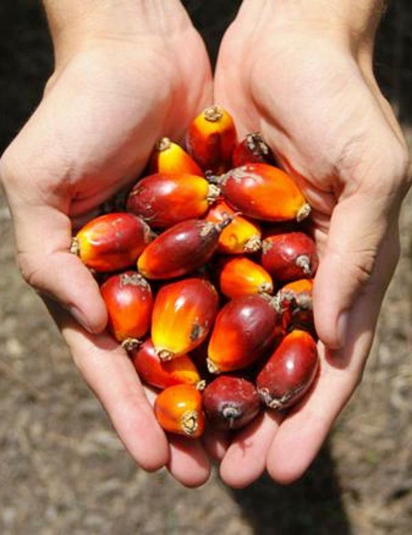 ¿Existe alguna 'alternativa sostenible' para el actual cultivo del aceite de palma?
