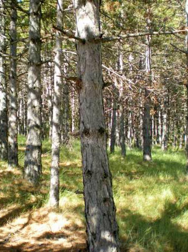 Las sequías y el calentamiento climático condicionarán el futuro de los bosques de pino laricio