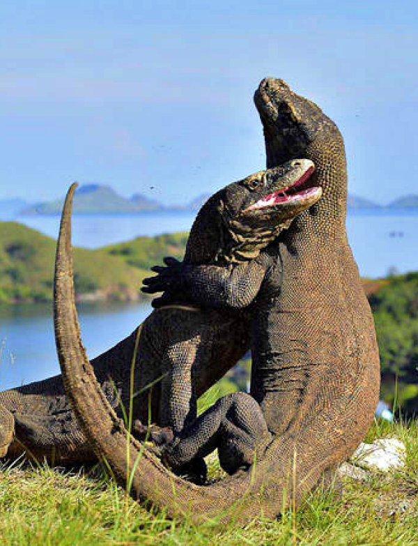 El 'antecesor' del Dragón de Komodo
