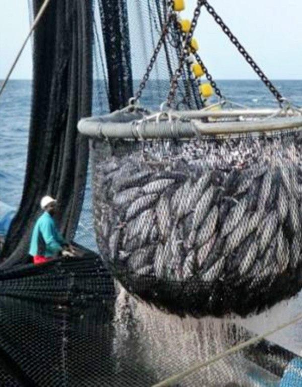 Reduciendo la 'sobreexplotación' de atunes tropicales
