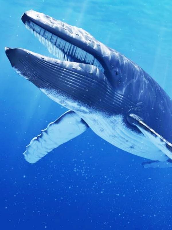 Miden por primera vez la frecuencia cardíaca de una ballena azul